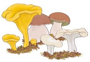 mushroom_boletus_edulis_144896